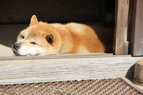 Friendly Chiba Inu enjoying the sun